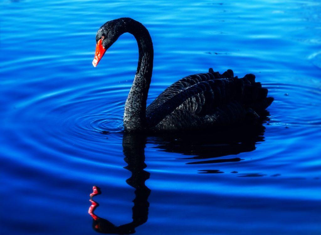 Black Swan 5