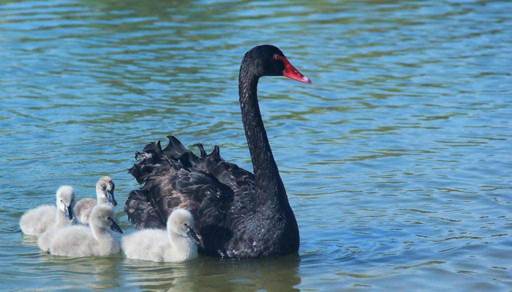 Black Swan 6