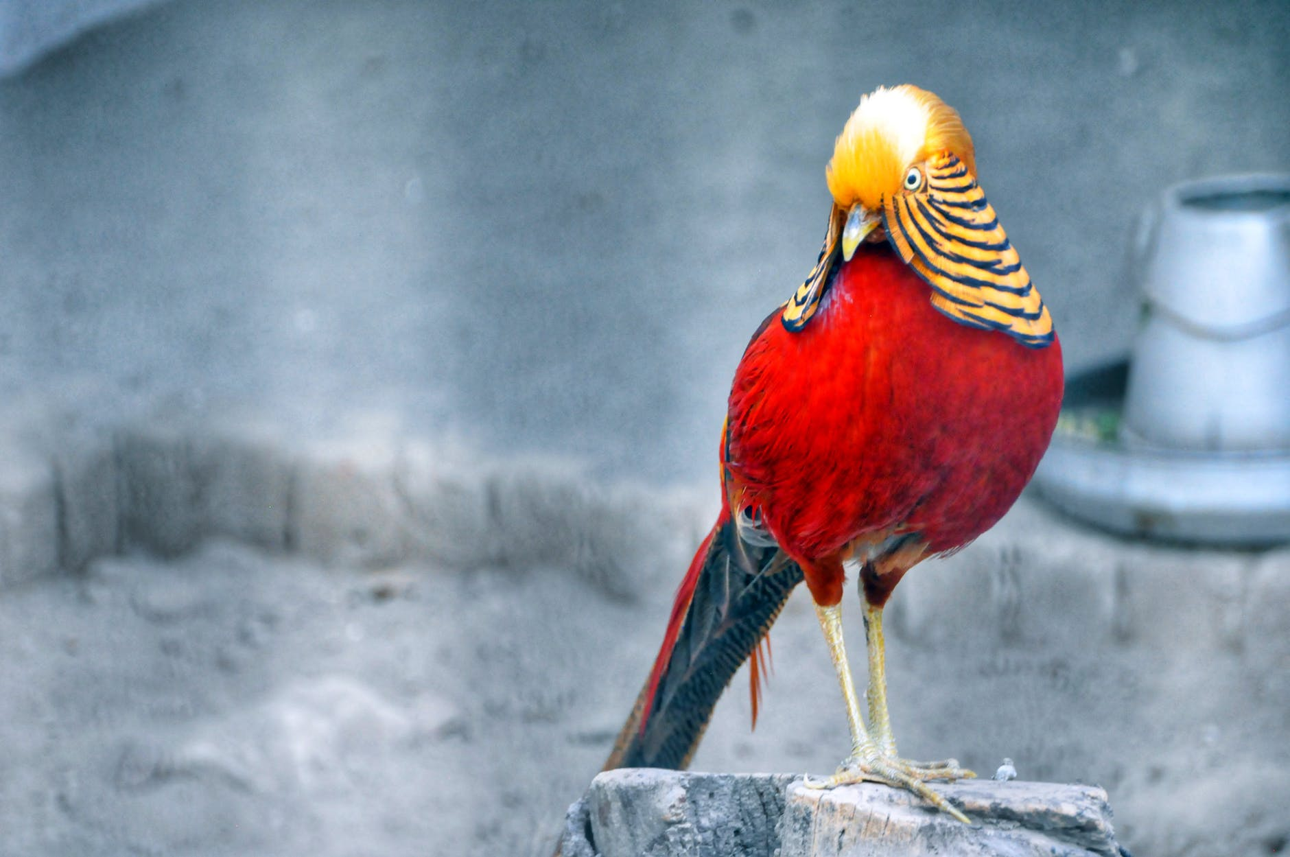 Red Golden Pheasant At Zoo