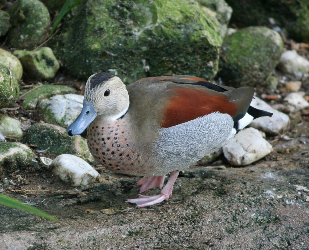 Ringed Teal Duck 1