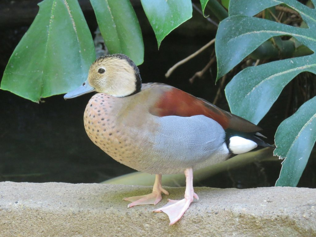 Ringed Teal Duck 3