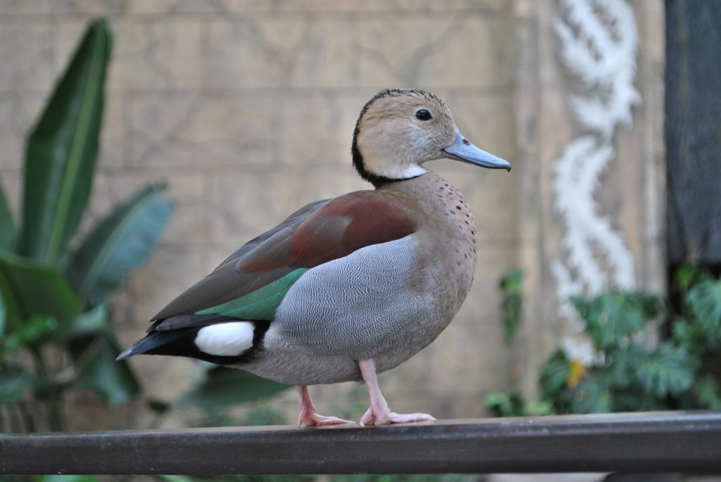 Ringed Teal Duck 4