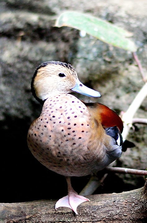 Ringed Teal Duck 5