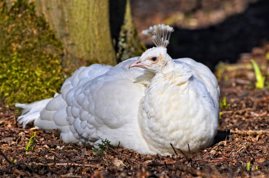 White Peafowl 1