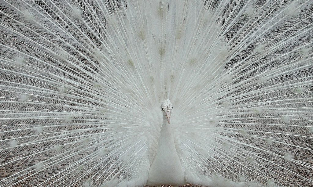 White Peafowl 4