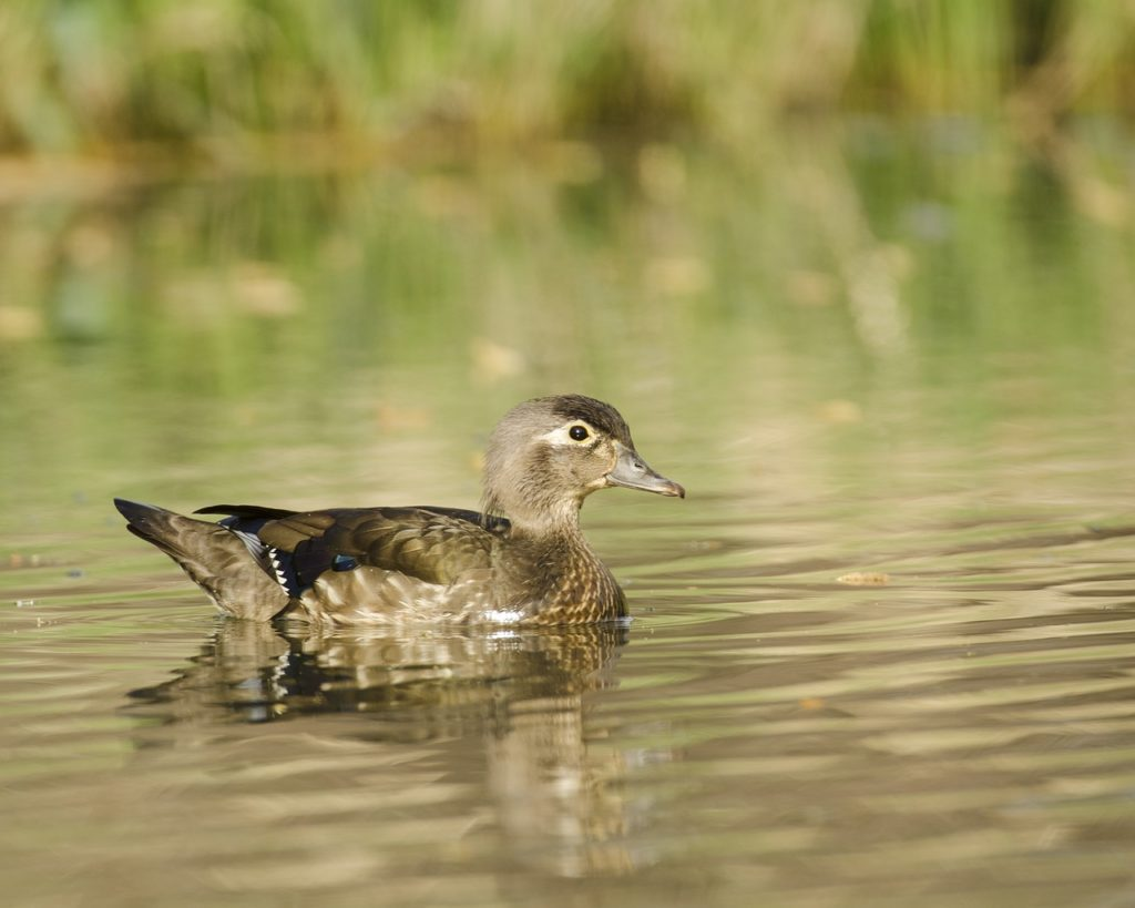 Wood Duck Female 1