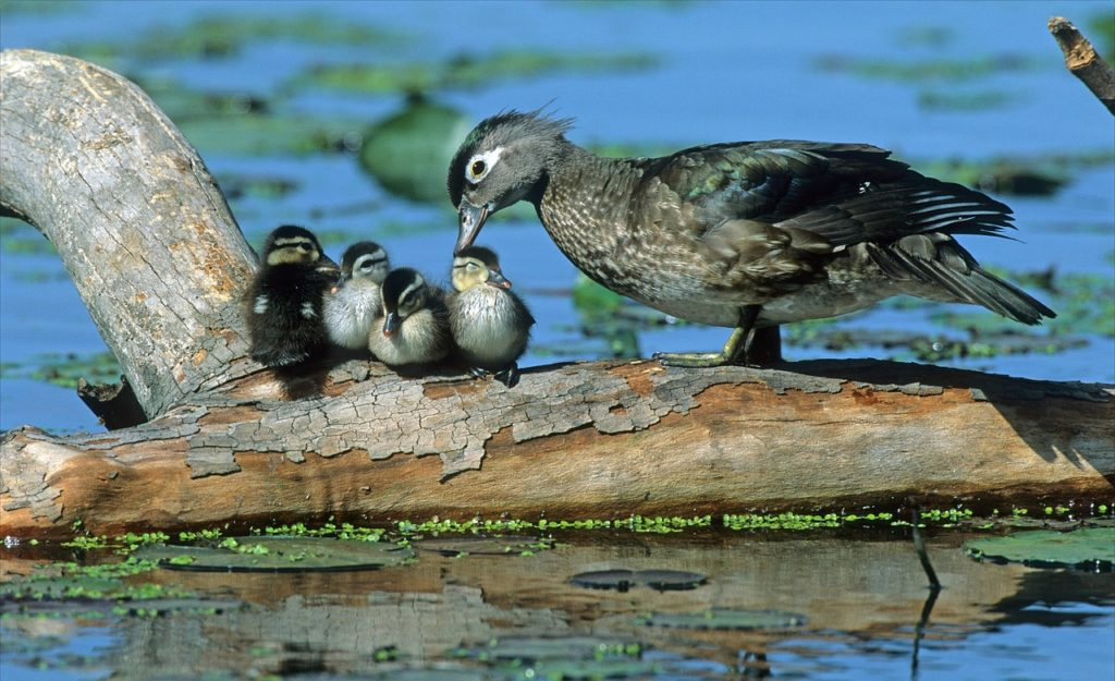Wood Duck with Babies